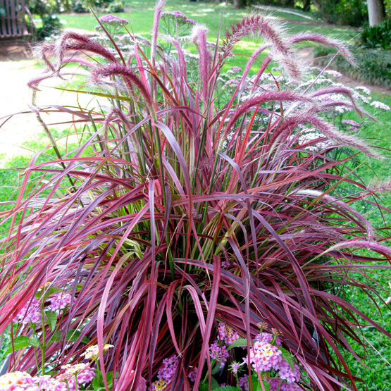 Fountain grass red 1g maak propagation research for Ornamental grass with purple plumes
