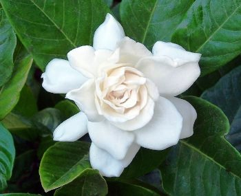 gardenia research Research corridor recently added new report titled gardenia yellow market report - global trends, market share, industry size, growth, opportunities, and market forecast - 2018 – 2026 to its repertoire.